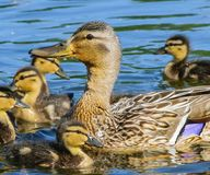 Little ducklings on blue water. Forest lake, the water birds swim Mallard ducks in search of food Stock Images