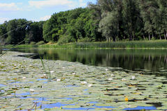 Forest lake with white water lilies on a Sunny day. Stock Photo