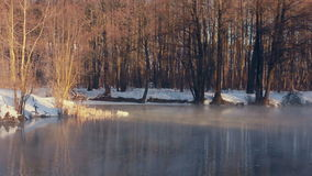 Forest lake in winter. White swans in sunlight. Misty morning in winter stock video
