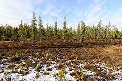 forest landscape in autumn in the Russian taiga Royalty Free Stock Photo