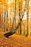 Forest landscape in autumn Royalty Free Stock Image