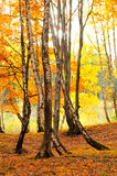 Forest landscape in autumn Royalty Free Stock Images