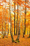 Forest landscape in autumn Stock Photography