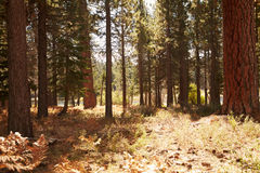 Forest landscape Big Bear, California, USA Royalty Free Stock Photos