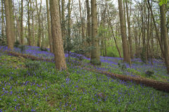 Forest landscape blue bells. With fallen tree royalty free stock image