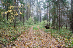 Forest landscape in cloudy and rainy autumn day Royalty Free Stock Photo