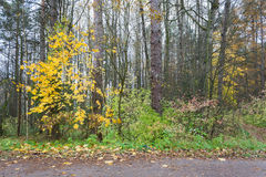 Forest landscape in cloudy and rainy autumn day Royalty Free Stock Images