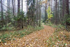 Forest landscape in cloudy and rainy autumn day Royalty Free Stock Photography