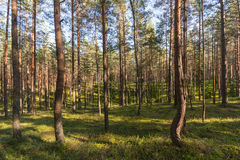 Forest landscape. Colorful season. Sunset. Green and tall trees. Autumn forest landscape Royalty Free Stock Photos