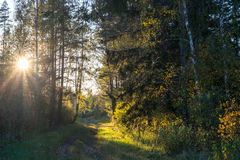 Forest landscape. Colorful season. Sunset. Green and tall trees. Autumn forest landscape Stock Image