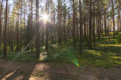 Forest landscape. Colorful season. Sunset. Green and tall trees. Autumn forest landscape Stock Images