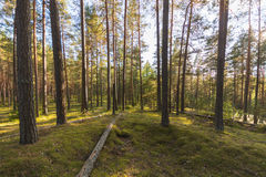 Forest landscape. Colorful season. Sunset. Green and tall trees. Autumn forest landscape Royalty Free Stock Image