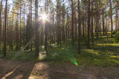Forest landscape. Colorful season. Sunset. Green and tall trees. Autumn forest landscape Royalty Free Stock Photo