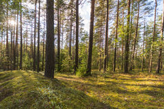Forest landscape. Colorful season. Sunset. Green and tall trees. Autumn forest landscape Royalty Free Stock Images