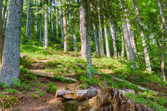 Forest landscape in a coniferous wild forest. Summer season royalty free stock images