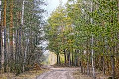 Forest landscape at the crossroads of the forest road. Forest intersection with pines and birches Royalty Free Stock Photo