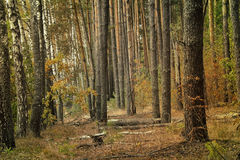 Forest landscape in the early autumn. Stock Photography