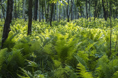 Forest landscape with fern. S Ussury taiga, summer Royalty Free Stock Photography