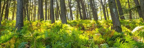 Forest landscape with ferns royalty free stock photography