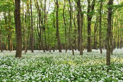 Forest landscape with floor covered by a blanket of green wild g Royalty Free Stock Photos