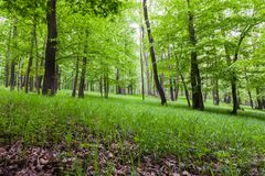 Forest landscape with floor covered by fresh green grass. Green Carpathian forest floor scenic in spring time Stock Photos