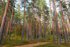 Forest landscape, footpath and pine trees Stock Image