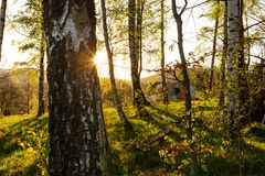 Forest landscape - forest trees with grass on the foreground and sunset light shining through the forest trees. stock images