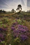 Forest landscape with heather at sunrise Royalty Free Stock Photo