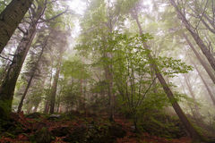 Forest landscape in mist Royalty Free Stock Image