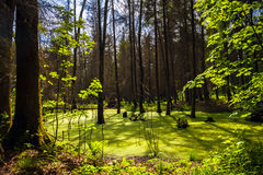 Forest landscape panorama view swamp trees forest Royalty Free Stock Images