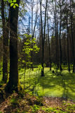Forest landscape panorama view swamp trees forest Royalty Free Stock Photography