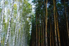 Forest landscape. Pine and birch forest summer stock images