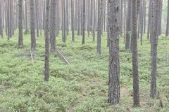 Forest landscape with pine royalty free stock photo