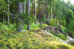 Forest landscape with pine trees and moss Stock Photos