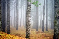 The forest. Landscape of pine trees in the woods with a light mist stock photos