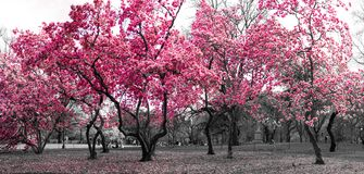Forest landscape with pink trees in a black and white New York City. Surreal forest fantasy landscape with pink trees in a black and white cityscape in Central Stock Image