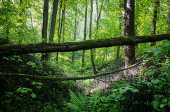 Forest landscape, ravine in the woods with a fallen tree on the background of trees Stock Photo