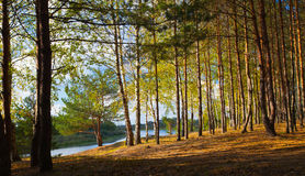 Forest Landscape with River Royalty Free Stock Image