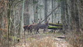 Forest landscape with several young brown deer in the thicket of the spring forest Royalty Free Stock Images