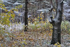 Forest landscape, the specifics of seasons in nature, winter comes to replace autumn. First snow fell Stock Images