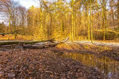 Forest landscape with stream and beavers dam Royalty Free Stock Image