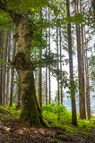 Forest landscape in summer Royalty Free Stock Images