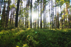 Forest landscape in summer day Royalty Free Stock Photo