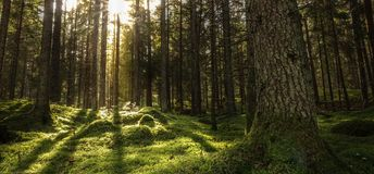 Forest landscape with sunbeams, mossy trees and stones.  royalty free stock photos