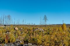 Forest landscape in Sweden, recovering from a large forest fire stock photography