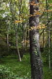 Forest landscape with trees and green creeper plant on the trunk Royalty Free Stock Photography