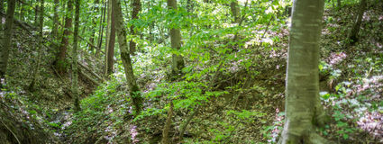 Forest landscape. Trees on the slopes of the ravine. Royalty Free Stock Photo