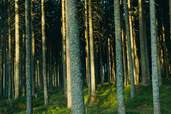 Forest landscape with trees Royalty Free Stock Photography