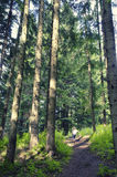 Forest landscape with trees. Sunlight in the green forest. Nature green wood backgrounds.  royalty free stock photography