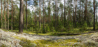 Forest landscape. Trees and white, green moss Stock Photos